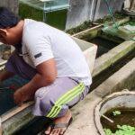 Budidaya belut di pekarangan, Pemesan dari Sumbawa dan Jawa
