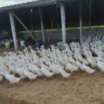Kades Denggen Timur Salurkan Bebek Petelur Atasi Dampak Covid-19